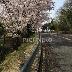 桜11(sakumu)