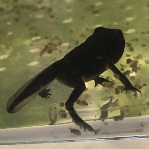 ヒキガエルになりかけのオタマ