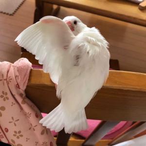 文鳥のワシワシワシ…な羽繕い♡