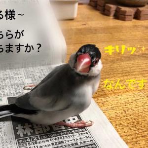プロ野球を占う文鳥( *´艸`)