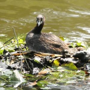 久々の大宮公園コンプリート③ボート池でカイツブリの新居拝見