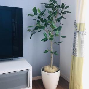 我が家の観葉植物たち