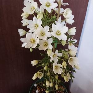 クレマチス開花&今日の0円食堂は・・・