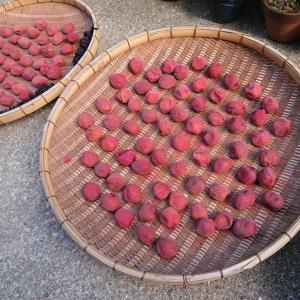梅干し干し・イチゴの苗採りなどなど