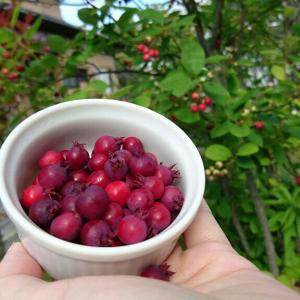 【保存ジャムのレシピ】庭のジューンベリーを収穫!手作りジャムの美味しさに感動!