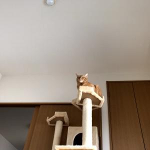 キャットタワーに鎮座する猫神様