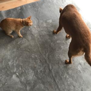洗い立てのラグマットに大興奮する犬と猫