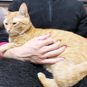 夫の膝上に乗るのにハマっている猫
