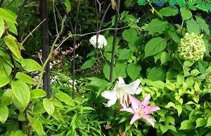 白ユリが咲く