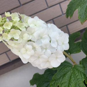 カシワバアジサイ(柏葉紫陽花)が咲きました