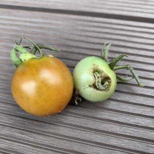 トマトが害虫にやられた〜