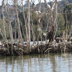 Australian white ibis in spring