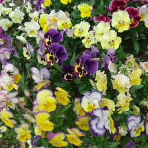 紬風の着物に自作のバラ柄帯で假屋崎先生のバラ園へエアお出かけ♪