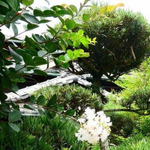 庭の サルスベリ が 咲いてます。