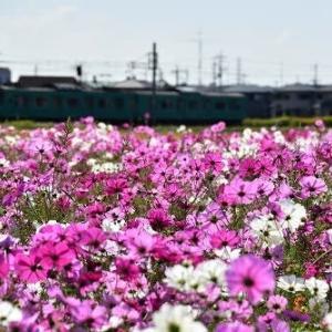 JR加古川線 電車 と コスモス