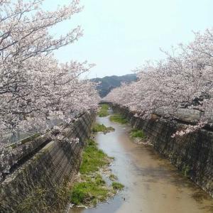桜並木の調子が悪い