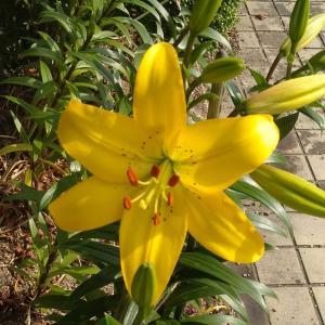 ユリやアジサイが咲き始めました