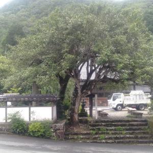 有楽椿の樹木診断