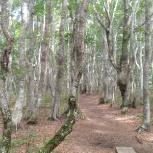 涼しいブナの樹林帯を歩く