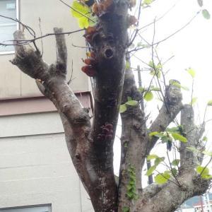 生きている樹木に生えるキノコ