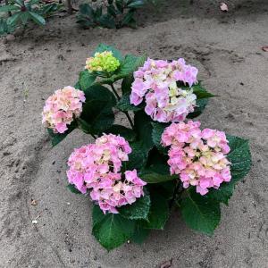 紫陽花が順調に育ってきました!