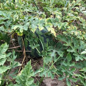 ガーデニング始めました日記(4)〜スイカとトウモロコシがいよいよ収穫時期になってきました〜