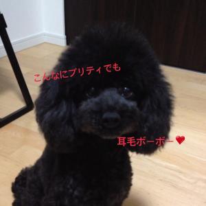 【獣医が解説】耳掃除前の大事なケア!自宅でできる犬の耳毛抜き