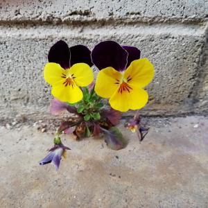 君は強いね、ビオラくん。コンクリートの隙間から咲く花を見て想う。