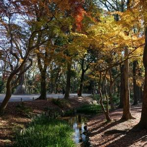 原生林の紅葉(下鴨神社)