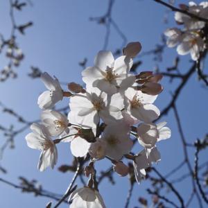 京の桜2020(10)