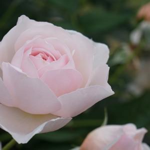 京のバラ(5)