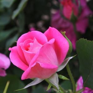 京のバラ(9)
