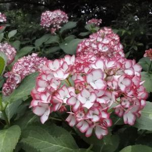 続)梅宮大社の紫陽花