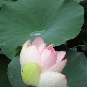 蓮の花(東本願寺)