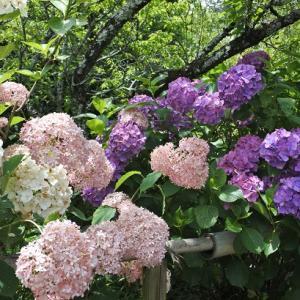 梅宮大社の紫陽花