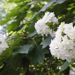 梅宮大社の紫陽花(2)