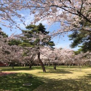 桜の北海道名所として知られる森町のオニウシ公園と青葉ヶ丘公園の様子~2021年5月~