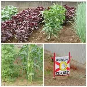 高齢女性が作る見事な野菜畑を見に行って