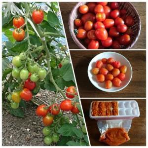 ミニトマトが沢山採れるので