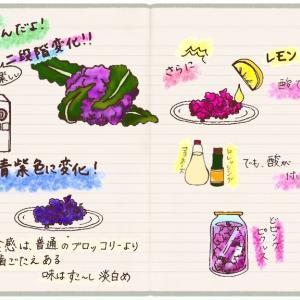 紫カリフラワーの2段階変化が楽しい