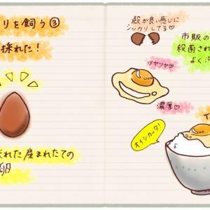 ニワトリを飼う③卵が採れた!
