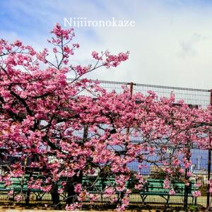 早咲きの桜と「コカルド」のシュークリームと「パブロ」のチーズケーキ