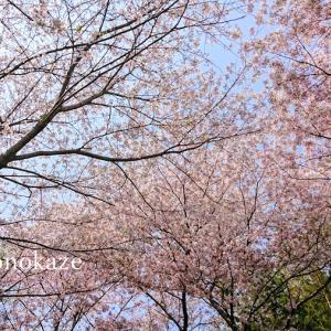 桜のトンネルと、茅の輪くぐり