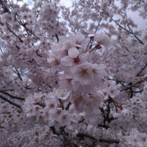 高田公園でお花見