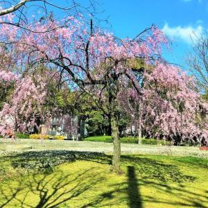 愛知尾張一宮駅周辺の桜3カ所を見てきました