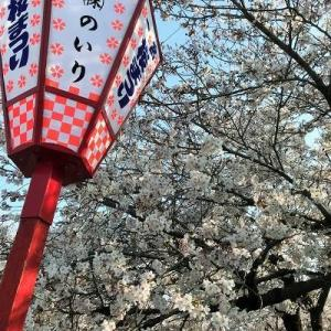 愛知県一宮市大江川緑道と梅ヶ枝公園の満開の桜を見てきました
