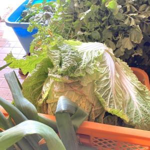 新鮮糸島野菜