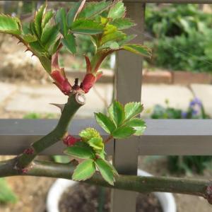 バラ*レッドキャスケードの芽 パンジー