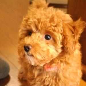 トイプードルと喧嘩するうちの家族:犬を飼うって大変じゃない?(1)