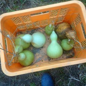 ヒョウタン収穫